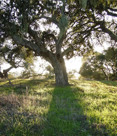 The Coast Live Oak (Quercus agrifolia) is an evergreen oak, highly variable and often shrubby, native to the California Floristic Province.