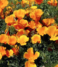 California poppies flout their gold over springtime fields....